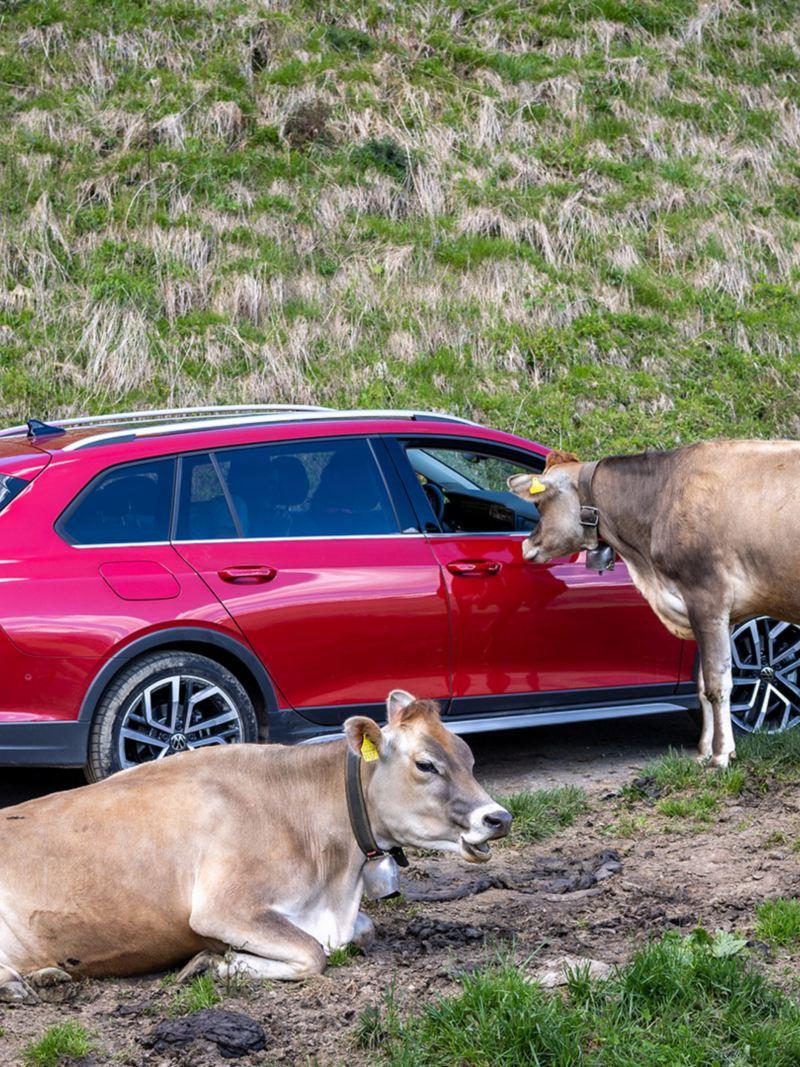 Mucche accanto alla Golf Alltrack.