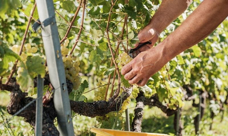 Trauben werden gepflügt