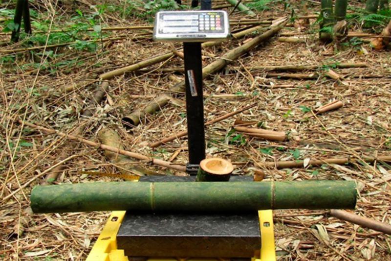 Proyecto Volkswagen - Plantación de bambú para contribuir al desarrollo económico y social de la región